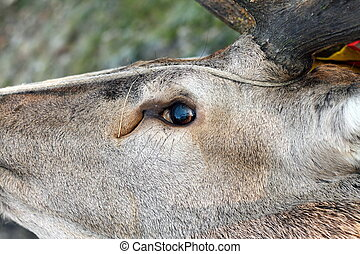 hunted red deer eye detail