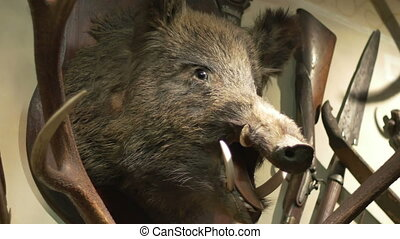 Hunted Wild Boar on Wall - Scarr portrait of a hunted wild...