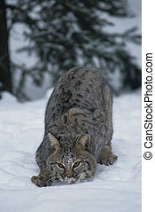Hunting Bobcat - a bobcat with head down on the snow...