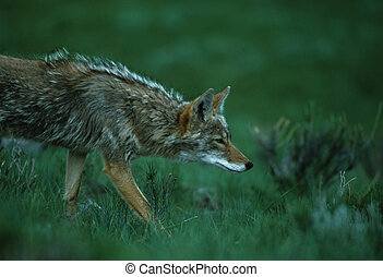 Hunting Coyote - a coyote carefully stalking its prey