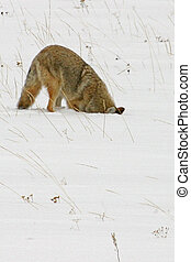 Hunting Coyote - A coyote hunts for rodents by burying his ...