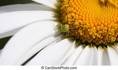 Hunting. - Crab spider hunts on small fly.