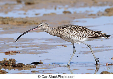 Hunting Curlew at Sharm el-Sheikh beach of Red Sea
