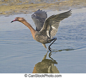 Hunting Dance - Reddish Egret, Egretta refescens