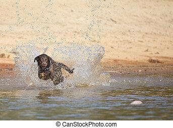 Hunting Dog - A Chocolate Labrador jumps into a lake as he ...