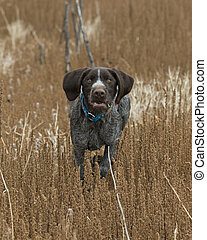 Hunting Dog - A German Wirehaired pointer hunting dog