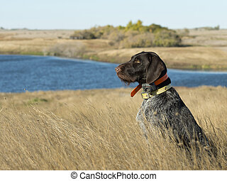 A Hunting dog sitting in the grass on the prairie