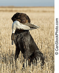 Hunting Dog - A Hunting dog with a duck