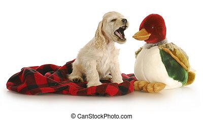 hunting dog - adorable cocker spaniel puppy barking at ...