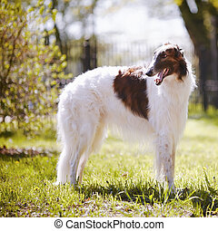 Borzoi. - Hunting dog. Borzoi. White dog with spots. Dog for...