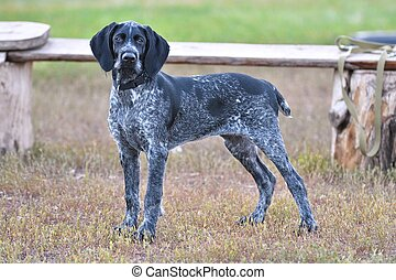 Hunting dog breed German Wirehaired pointer on the walk