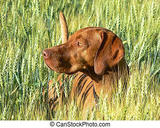 Hunting Dog - Close up of hunting dog in tall barley field
