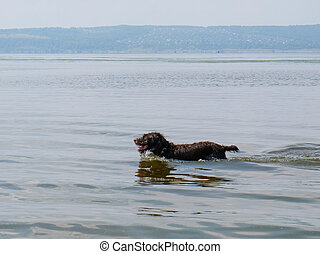 Hunting dog - Drathaar frolicking in the river