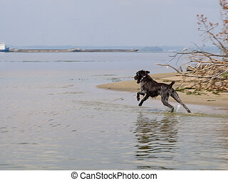 Hunting dog - Drathaar running in the river