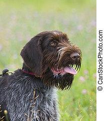 Hunting Dog - German Wirehair or Drahthaar