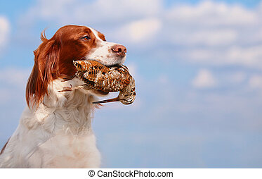 hunting dog holding in teeth a woodcock, outdoors, ...