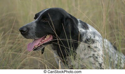 Hunting Dog - hunting dog resting in the grass