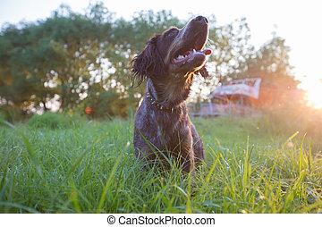 Hunting dog in nature. Irish setter