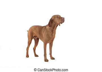 hunting dog in studio on white background