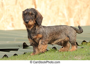 hunting dog in the backyard