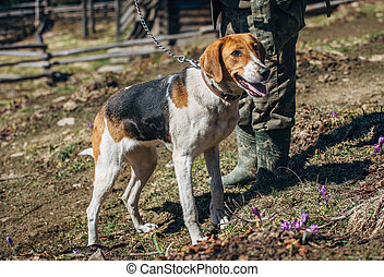 hunting dog on a leash with the owner