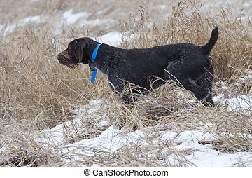 Hunting Dog on Point of a Pheasant in the snow