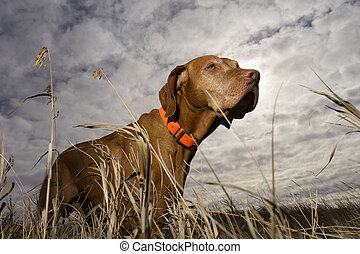 hunting dog seen from ground levelthrough grass