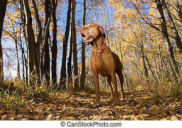hunting dog standing in fall color forest