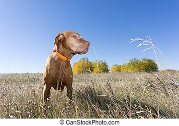 hunting dog standing in grass outdoors