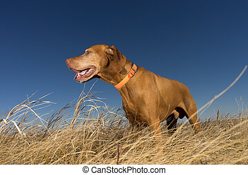 hunting dog standing in tall grass