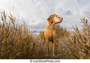 hunting dog statnding in the tall grass seen from below
