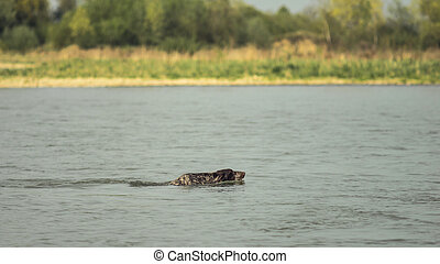 Hunting dog swims across the river