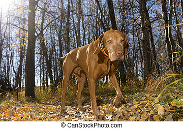 hunting dog walking in the forest