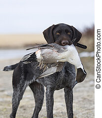 Drake Pintail - Hunting Dog with a Drake Pintail