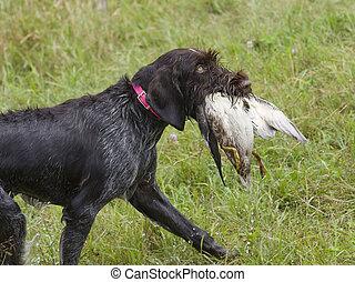 Hunting Dog with a duck - Hunting dog with a duck