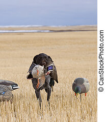 Hunting Dog with a Mallard