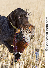 Hunting Dog holding a Rooster Pheasant