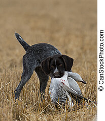 A Hunting Dog with a snow goose in North Dakota