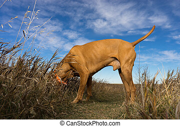hunting dog with head in the grass