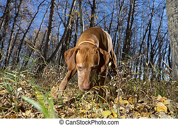 hunting dog with nose on the ground in autumn forest