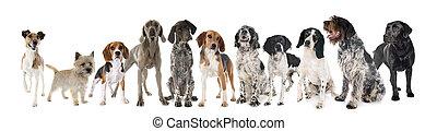 hunting dogs in studio