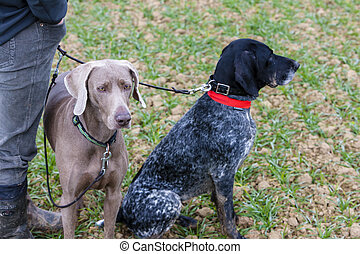 hunting dogs with hunter