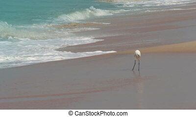 hunting heron on beach