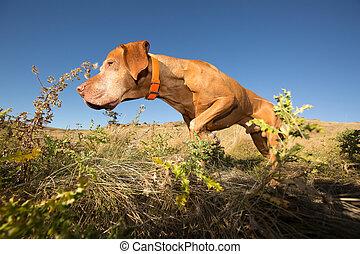 hunting hungarian vizsla dog in field