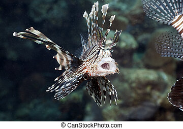 hunting!, lionfish