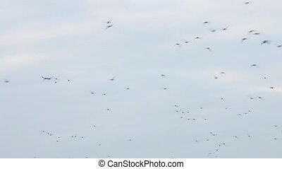 hunting of wild ducks - Flock of frightened wild ducks in ...