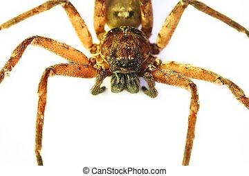 Huntsman Spider In Queensland, Australia