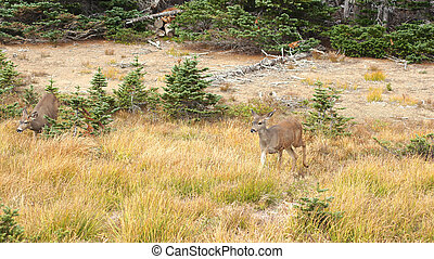Hurricane Ridge, Olympic National Park, WASHINGTON USA - October 2014: A blacktail deer stops to admire the view of the mountains and eating gras