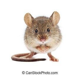 hus, mus, stående, (mus, musculus)