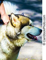 Huskies. Huskies breed dog